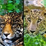 dif-jaguar-y-leo