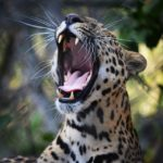 leopardo-by-michael-ramirez300