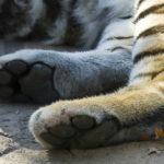 siberian-tiger-tiger-paws
