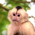 capuchino-4