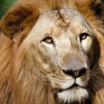 leon-africano-1